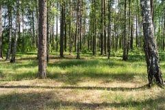绿色草甸在森林阳光下通过树 免版税库存照片