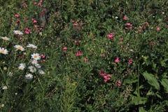 绿色草甸,春黄菊 免版税库存照片