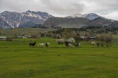 绿色草甸,马,母牛,绵羊 免版税库存图片