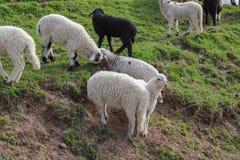 绿色草甸,马,母牛,绵羊 免版税图库摄影