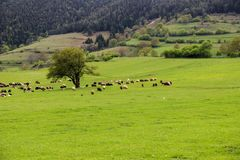 绿色草甸,马,母牛,绵羊 库存照片
