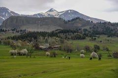 绿色草甸,马,母牛,绵羊 免版税库存照片