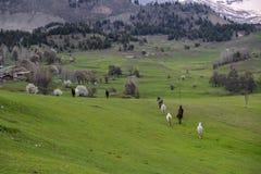 绿色草甸,马,母牛,绵羊 库存图片