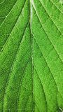 绿色草莓在白色背景留下特写镜头 宏观静脉 库存图片
