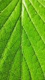 绿色草莓在白色背景留下特写镜头 宏观静脉 免版税图库摄影
