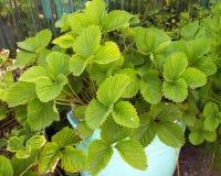 绿色草莓灌木在花圃里增长 草莓幼木 风景在庭院里 免版税图库摄影