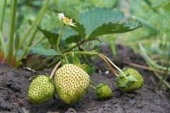 绿色草莓 免版税库存照片