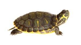 绿色草龟 图库摄影