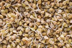 绿色荞麦背景样式纹理新芽  素食主义者发芽了新芽 健康饮食荞麦粥食物 库存照片