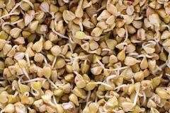 绿色荞麦背景样式纹理新芽  素食主义者发芽了新芽 健康饮食荞麦粥食物 免版税库存照片
