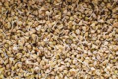 绿色荞麦背景样式纹理新芽  素食主义者发芽了新芽 健康饮食荞麦粥食物 图库摄影