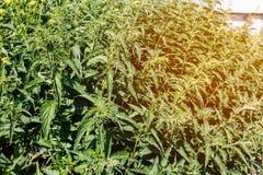 绿色荨麻大灌木在一个晴天 库存图片