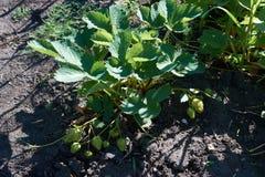 绿色莓果 库存图片