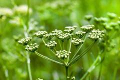绿色莳萝伞 免版税图库摄影