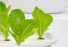绿色莴苣幼木 图库摄影