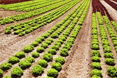 绿色莴苣红色行 免版税库存图片