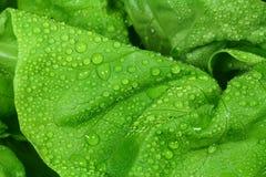 绿色莴苣 免版税库存照片