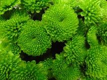 绿色菊花大花束的背景  库存图片
