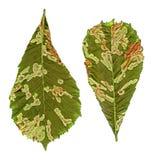 绿色菩提树生叶任意损坏与被隔绝的细菌特写镜头, 图库摄影