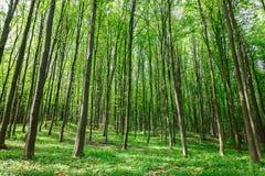 绿色落叶林在一个晴天 免版税库存图片