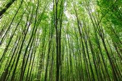 绿色落叶林在一个晴天 库存图片