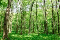 绿色落叶林在一个晴天 免版税库存照片