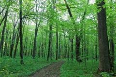 绿色落叶林在一个晴天 库存照片