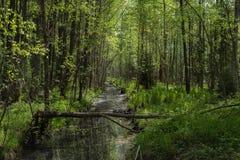 绿色落叶林风景在夏天 河在狂放的森林里 库存照片