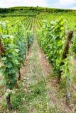 绿色葡萄园在阿尔萨斯酒路线的区域 免版税库存照片