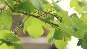 绿色葡萄在分支离开与水下落在庭院 植物在雨中,关闭,动态场面,被定调子的录影 股票录像