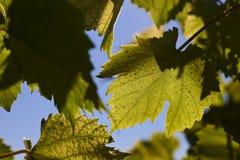 绿色葡萄在背后照明的射线离开反对蓝天 年轻葡萄绿色叶子  免版税图库摄影