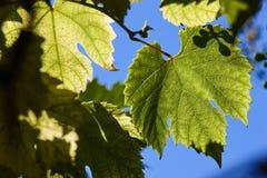 绿色葡萄在背后照明的射线离开反对蓝天 年轻葡萄绿色叶子  库存照片