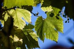 绿色葡萄在背后照明的射线离开反对蓝天 年轻葡萄绿色叶子  库存图片