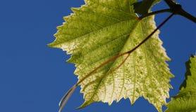 绿色葡萄在背后照明的射线离开反对蓝天 年轻葡萄绿色叶子  图库摄影