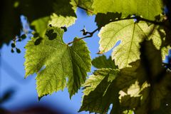 绿色葡萄在背后照明的射线离开反对蓝天 年轻葡萄绿色叶子  免版税库存图片