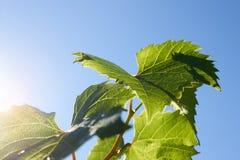 绿色葡萄在背后照明的射线离开反对蓝天 年轻葡萄绿色叶子  免版税库存照片