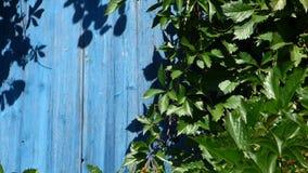 绿色葡萄离开继续前进风,年迈的木墙壁后边 股票视频
