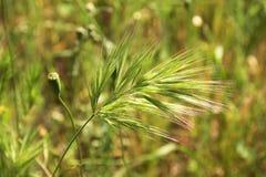 绿色蓬松锥体 夏天领域植物 库存照片
