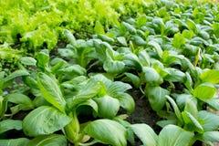 绿色蔬菜种田 免版税库存照片