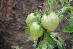 绿色蕃茄在庭院里 免版税库存图片