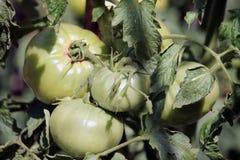 绿色蕃茄在庭院里 库存照片