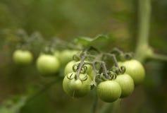 绿色蕃茄 图库摄影