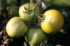 绿色蕃茄 库存图片