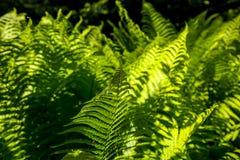 绿色蕨离开作为背景 库存图片