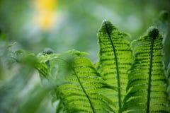 绿色蕨离开特写镜头被弄脏的自然本底 免版税库存照片