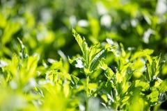 绿色薄荷叶在庭院里 免版税图库摄影