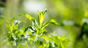 绿色薄荷叶在庭院里 免版税库存图片