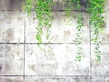绿色藤、藤本植物或者爬行植物老白水泥的或难看的东西抽象墙壁背景与拷贝空间 免版税库存图片
