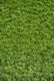 绿色藤叶子背景 免版税库存图片
