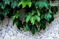 绿色藤成了螺旋形对白色墙壁 库存图片